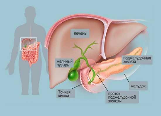 Желчный пузырь анатомия