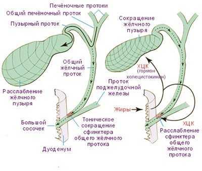 Механизм наполнения и опорожнения желчного пузыря