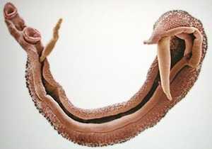 Шистосома внешний вид