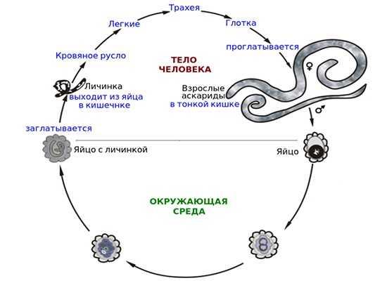 Аскариды жизненный цикл