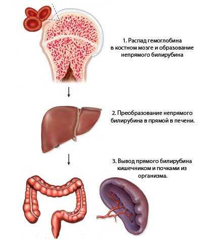 Схема образования билирубина